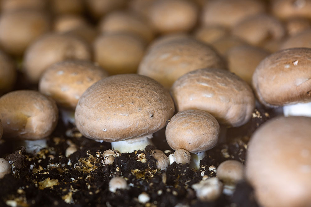 Champignons In De Kwekerij